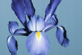 Irises spread via rhizomes.