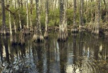 Cypress trees grow in swampy areas, particularly in southern states such as Florida.