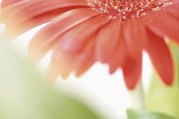 More than 300 gerber daisy varieties exist.