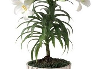 Plant holiday Easter lilies in your garden for flowers next summer.