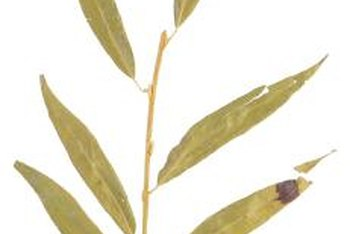 Peppermint willow's leaves resemble those of a true willow (Salix spp.).