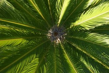 Sago palm leaves grow in a whirl from the top of the trunk.