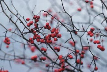 Most red berry plants hold on to their fruit throughout the winter.