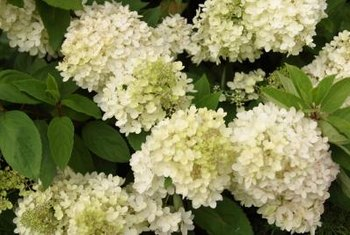 Snowball bush flowers start out lime-green before fading to white.