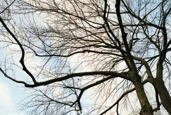 Improperly maintaining a tree can lead to unattractive, scraggly top growth.
