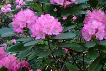 Rhododendrons are pruned in the springtime after flowering.