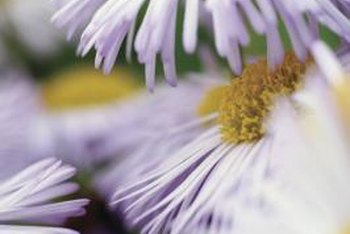 Seaside daisies can also have delicate, lilac-colored petals.