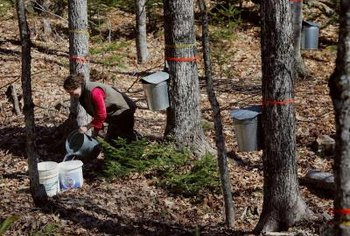 Maple syrup collecting seasons are 10 percent shorter than 40 years ago.