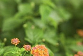 Lantanas add color to your garden and are hosts to Lantana Scrub-Hairstreak butterfly larvae.