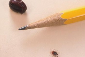 A tick swells up to 1/2-inch long when engorged with blood.