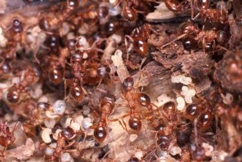 Fire ants are reddish or dark brown and 1/8 to 1/3 inch long.