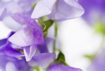 Unlike their garden pea cousins, sweet pea blossoms are colorful and intensely fragrant.