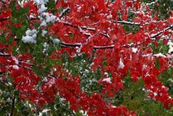 Red maples provide year-round interest.