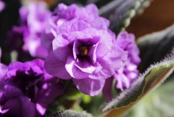 African violet flowers vary in color, depending on the cultivar.