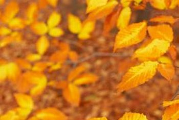 American beech tree leaves turn golden in the autumn.