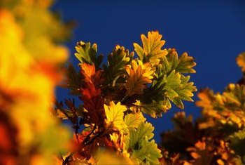 Red oak is capable of surviving in a range of climates.