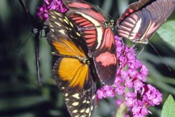 Many butterfly bushes have magenta-purple flowers.