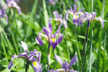 Iris plants grown from seed are likely to differ from parent plants.