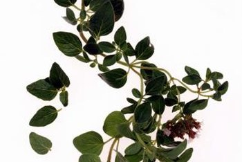 Wild oregano is among more than 20 species in the genus Origanum.