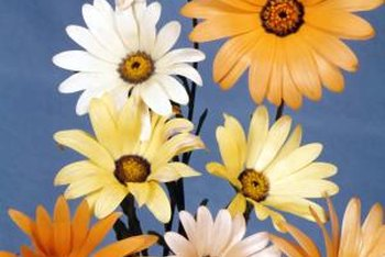 African daisies can add ornamental value to your home and garden.