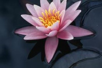 Water lilies provide a focal point for a pond garden.