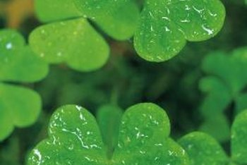 Oxalis plants crowd florist shop shelves as St. Patrick's Day approaches.