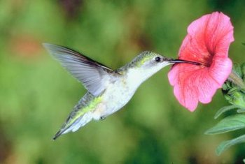 Hummingbirds often feed from deep-throated flowers in red tones.