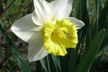 New varieties are developed when growing daffodils from seeds.