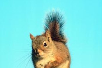 Eastern fox squirrel is also commonly known as red fox squirrel.