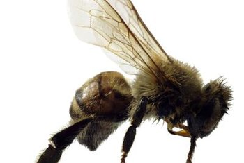 Bees pollinate cucumbers by carrying pollen from male blooms to female blooms.