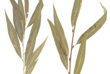 Willow plants have narrow lance-shaped leaves.