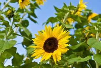 Sunflowers planted in April grow fast enough for summer blooms.