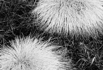 Sethoxydim could kill ornamental grasses.
