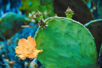The prickly-pear cactus produces beautiful blooms in the summer months.