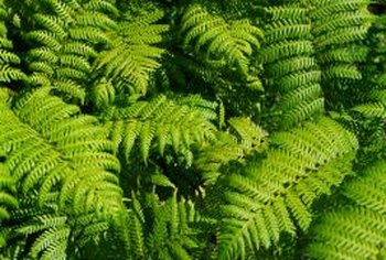 Ferns disguise a sloped side yard.