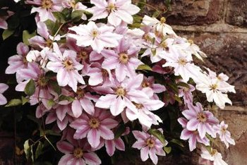 Clematis tolerates sun and shade if the soil remains moist.