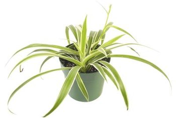 Baking soda can deter several common fungi that attack houseplants.