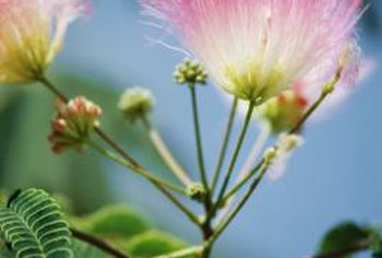 Persian silk trees, also called mimosa, produce flowers in pink and white.