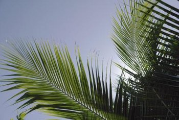 A palm's fronds contain its leaves.