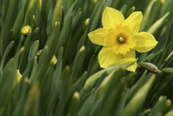 Classic daffodil hybrids often bear a single yellow flower per stalk.