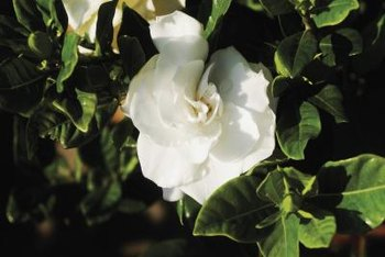 Whorled evergreen leaves create a rich background for gardenia's white flowers.