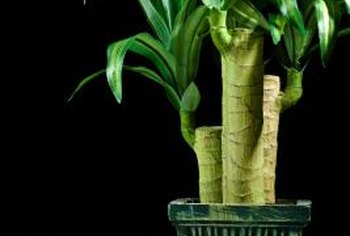 Dracaena plants grow best when they are somewhat potbound.