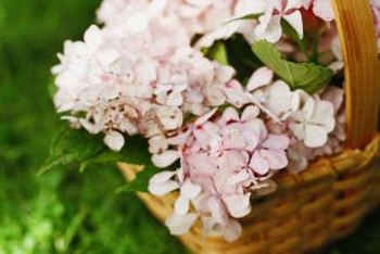 Oakleaf hydrangeas start white but mature into pale pink.