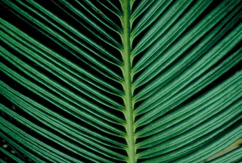 The sago palm is a type of plant called a cycad.