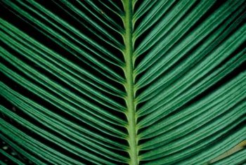 Sago palms are known for their long, glossy, dark green fronds.