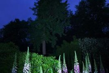 Foxgloves are striking, old-fashioned flowers.