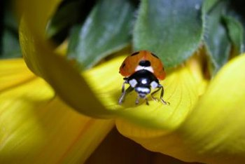Ladybugs eat harmful insects like aphids.