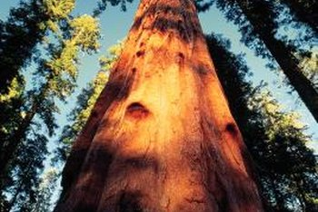 Redwood trees are some of the tallest trees in the world.