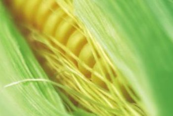 "Corn is a ""heavy feeder,"" needing high levels of major plant nutrients."
