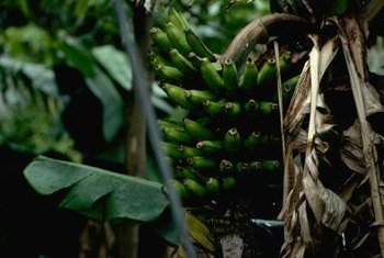 Banana plants are fleshy herbaceous perennials.